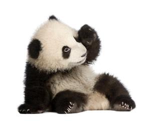 Fotobehang Panda Giant Panda (6 months) - Ailuropoda melanoleuca
