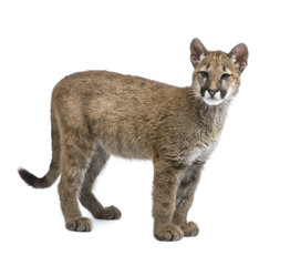 Fotobehang Puma Puma cub - Puma concolor (3,5 months)