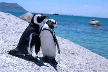 Photo sur Toile Pingouin Love-birds. Two penguins at Boulders beach, South Africa