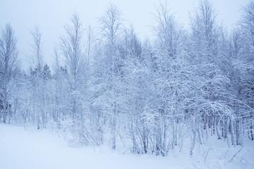 winter landscape / horizontal / snow forest