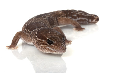 Jungle African Fat-tailed Gecko