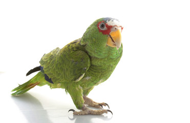 Blue-faced Amazon Parrot