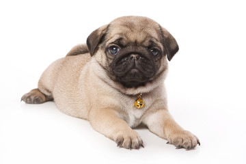 Pug puppy on white background