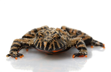 Brown Fire-bellied Toad