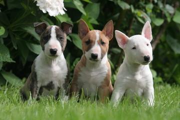 Trio de petits copains chiens miniatures