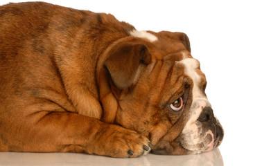 red brindle english bulldog laying down looking upwards