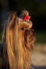 tête de yorkshire terrier de profil avec jolie lumière