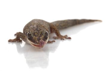 Velvet Gecko