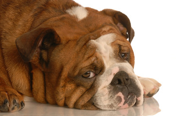 red brindle english bulldog with pouting sad expression