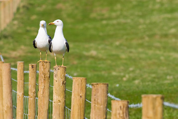 Great black backed Gulls sitting on a fence