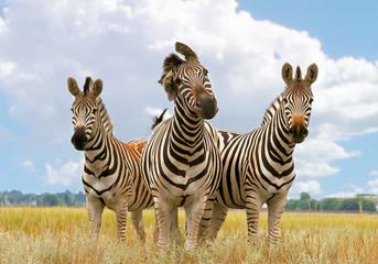 zebra, landscape