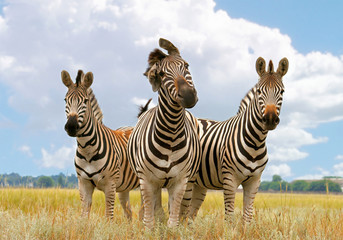 Aluminium Prints Zebra zebra, landscape
