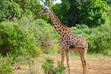 giraffe in Tanzania, Africa