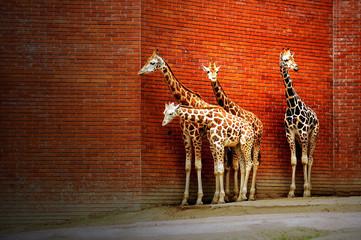 Four giraffes near the wall