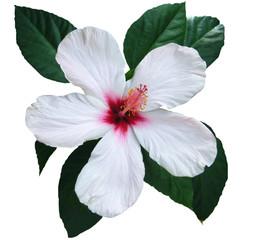 Hibiscus blanc, sur fond blanc