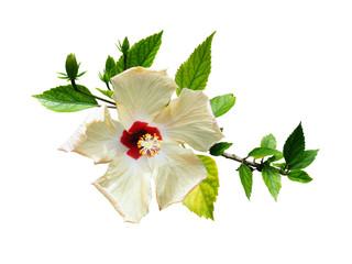 Hibiscus blanc et feuillage, sur fond blanc
