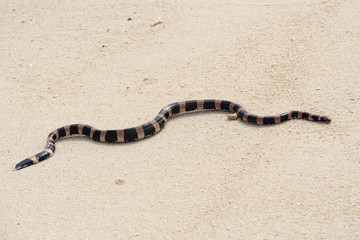 serpent tricot rayé