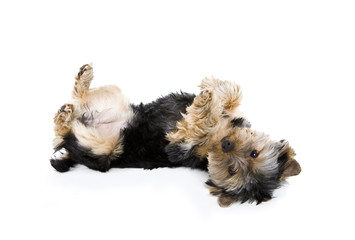 yorkie playing dead