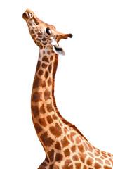 Détourage girafe tête et cou