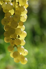 white wine grape with blurry background