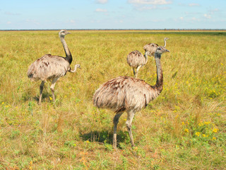 ostrich, steppe