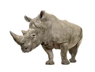 Foto op Aluminium Neushoorn White Rhinoceros - Ceratotherium simum ( +/- 10 years)