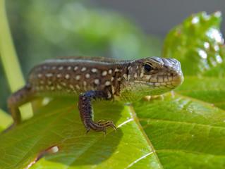 Lizard on a green leaf