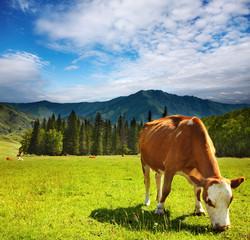 Fototapete - Grazing cow