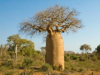 Printed roller blinds Baobab Bottle shaped Baobab tree