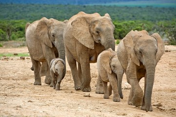 A small family group of elephants move to the river