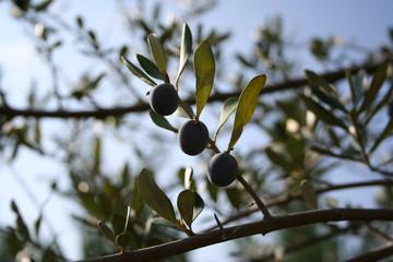 Olives 05