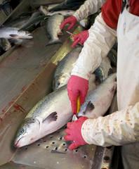 Salmon packing