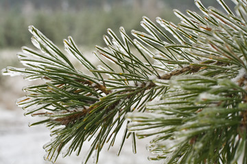 ice-covered branches of the pine