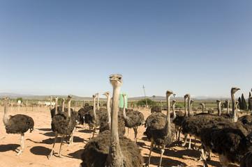 Poster Autruche ostrich farm in South Africa