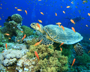 Hawksbill Turtle, Fairy Basslets and Scuba Diver