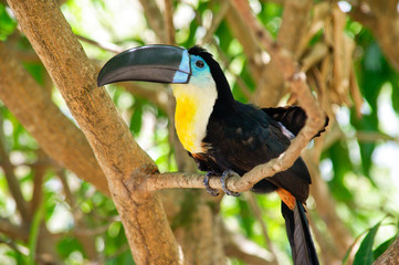 Toucan in tree