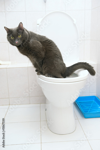 cat drinking water laying down