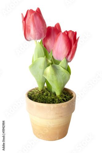 tulpen im topf stockfotos und lizenzfreie bilder auf bild 11942984. Black Bedroom Furniture Sets. Home Design Ideas
