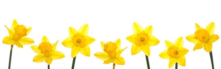 Foto op Plexiglas Narcis Daffodil Line