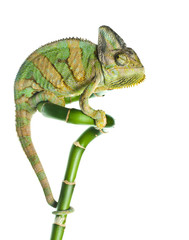 Photo sur Aluminium Cameleon chameleon on bamboo