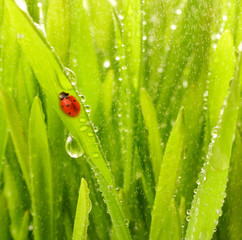 Ladybug sitting on a green grass