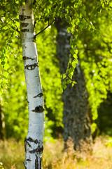 Spoed Foto op Canvas Berkbosje birch in sunlight