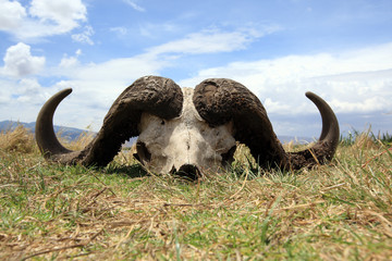 Door stickers Buffalo Cape buffalo skull in Ngorongoro crater Tanzania