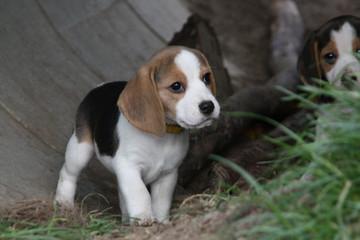 Beagle-Welpe