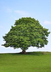 Sycamore Tree Beauty