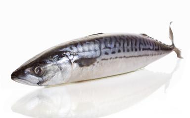 mackerel on white background