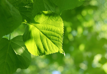 Fresh green spring leaves glowing in sunlight