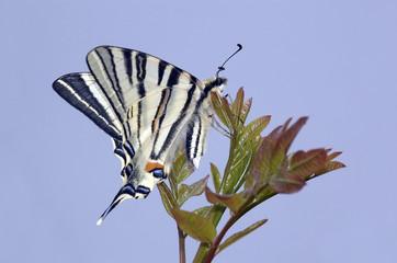 Farfalla,Papilionide
