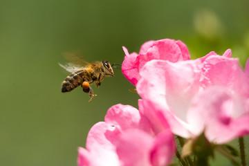 Abeille en vol devant une rose