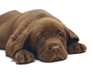 A chocolate puppy Labrador.